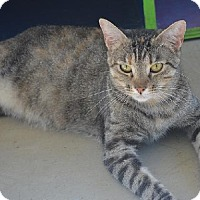 Domestic Shorthair Cat for adoption in New Iberia, Louisiana - Jenny