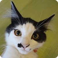 Adopt A Pet :: Pollock - St. Louis, MO