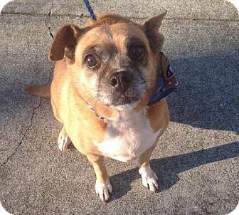 Boxer/Beagle Mix Dog for adoption in LEXINGTON, Kentucky - LILY