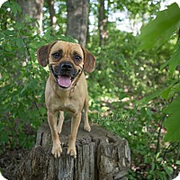Adopt A Pet :: Charlotte - Drumbo, ON