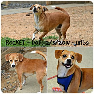 Beagle Mix Dog for adoption in Siler City, North Carolina - Rocket
