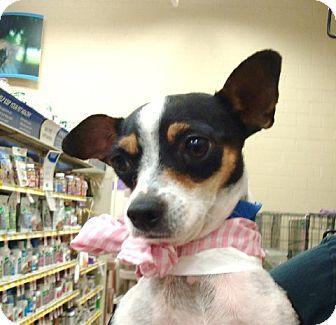 Chihuahua Mix Dog for adoption in Las Vegas, Nevada - Sorpresa
