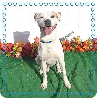 American Bulldog/Labrador Retriever Mix Dog for adoption in Marietta, Georgia - RALEIGH (R)
