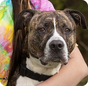 Boxer/Terrier (Unknown Type, Medium) Mix Dog for adoption in South Haven, Michigan - Belle