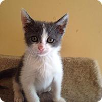 Adopt A Pet :: Bean - Bridgeton, MO