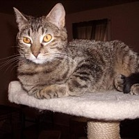 Domestic Shorthair Cat for adoption in Eldora, Iowa - Stella