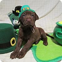 Adopt A Pet :: Krackel - New Oxford, PA