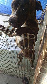 Boxer/Bulldog Mix Dog for adoption in Marianna, Florida - Babe Ruth