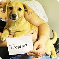 Adopt A Pet :: Thumper - Charlestown, RI