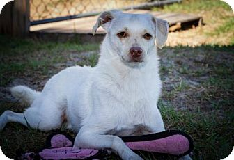 Spitz (Unknown Type, Medium)/Italian Greyhound Mix Dog for adoption in BROOKSVILLE, Florida - WALLY
