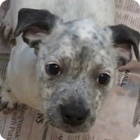 Adopt A Pet :: Bonnie ADORABLE Puppy - St Petersburg, FL