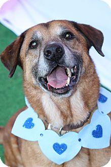 German Shepherd Dog Mix Dog for adoption in Tampa, Florida - Rosco