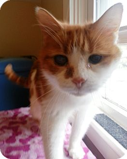 Domestic Mediumhair Cat for adoption in Acushnet, Massachusetts - Oliver