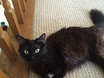 Domestic Mediumhair Kitten for adoption in Monrovia, California - Midnight