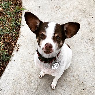 Rat Terrier/Chihuahua Mix Dog for adoption in Fountain Valley, California - Mikey