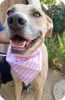 Labrador Retriever Mix Dog for adoption in Apple Valley, California - Gabby- ADOPTED 3/17/17!
