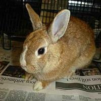 Adopt A Pet :: POM POM - Los Angeles, CA