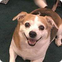 Beagle/Corgi Mix Dog for adoption in Columbus, Ohio - Maggie Too