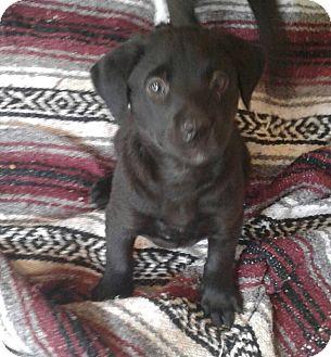 Labrador Retriever Mix Puppy for adoption in GREENLAWN, New York - Niko