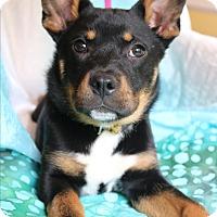 Adopt A Pet :: Pandy - Southington, CT