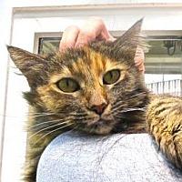 Adopt A Pet :: The Golden Girl - Davis, CA