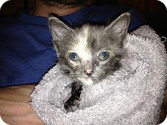 Domestic Shorthair Kitten for adoption in Fresno, California - Shiloh