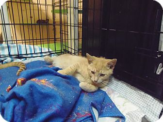 Domestic Shorthair Kitten for adoption in Catasauqua, Pennsylvania - Toby