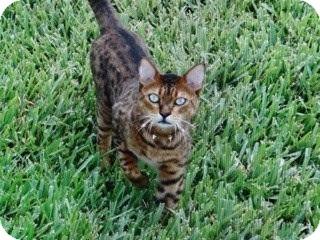 Bengal Cat for adoption in Lantana, Florida - Tobi