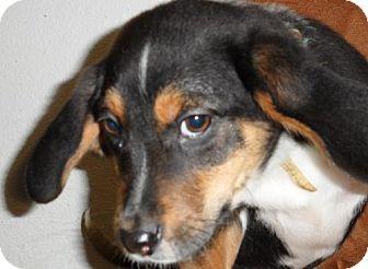 Beagle/Flat-Coated Retriever Mix Dog for adoption in Seattle, Washington - Mulberry