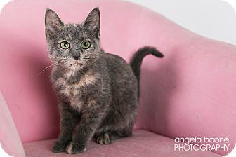 Domestic Shorthair Kitten for adoption in Eagan, Minnesota - Charlotte