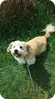 Poodle (Miniature)/Terrier (Unknown Type, Small) Mix Dog for adoption in East Smithfield, Pennsylvania - Dukie