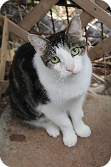 American Bobtail Cat for adoption in Centerton, Arkansas - Billy Jack