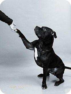 American Pit Bull Terrier Mix Dog for adoption in Kansas City, Missouri - Bayou