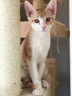 Domestic Shorthair Cat for adoption in Hammond, Louisiana - Prince Tweety