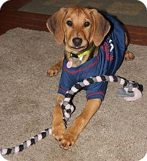 Coonhound/Basset Hound Mix Puppy for adoption in Brattleboro, Vermont - Puppy Reba