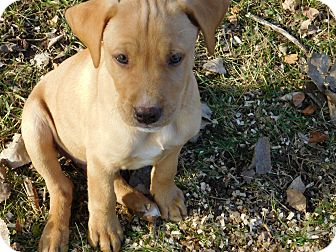 Labrador Retriever Mix Puppy for adoption in Conesus, New York - Jeremy