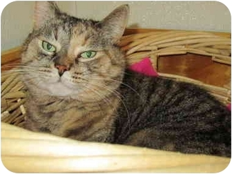 Domestic Shorthair Cat for adoption in Pascoag, Rhode Island - Cassandra