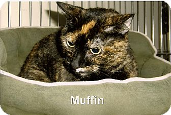 Domestic Shorthair Cat for adoption in Medway, Massachusetts - Muffin