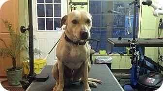 Labrador Retriever/Terrier (Unknown Type, Medium) Mix Dog for adoption in Brattleboro, Vermont - Bubba