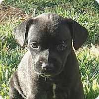 Adopt A Pet :: Alfie - La Habra Heights, CA
