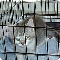 Adopt A Pet :: Gray kitten - Westfield, MA