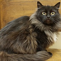 Domestic Longhair Cat for adoption in E. Claridon, Ohio - Megan