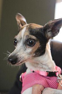 Italian Greyhound/Rat Terrier Mix Dog for adoption in Richardson, Texas - Ada