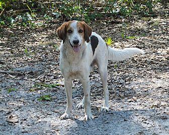 Treeing Walker Coonhound/Border Collie Mix Dog for adoption in Lake Pansoffkee, Florida - Sami