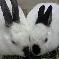 Adopt A Pet :: Demitasse - Los Angeles, CA