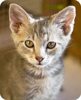 Domestic Shorthair Kitten for adoption in Chicago, Illinois - Samwell