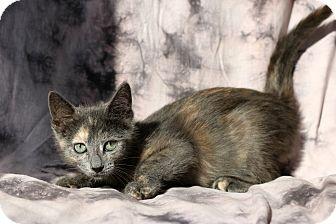 Domestic Shorthair Cat for adoption in New Prague, Minnesota - Iris
