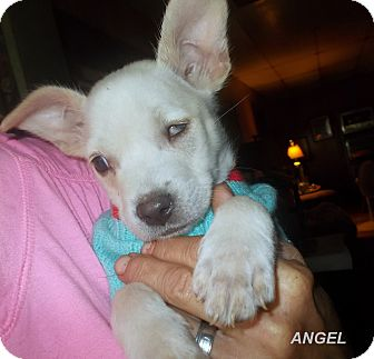 Chihuahua/Terrier (Unknown Type, Small) Mix Puppy for adoption in Girard, Georgia - Angel