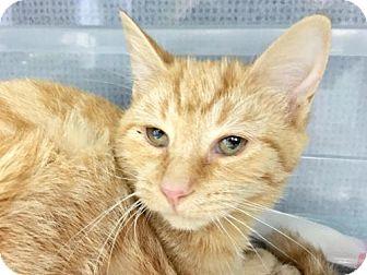 Domestic Shorthair Cat for adoption in Manteo, North Carolina - Esther