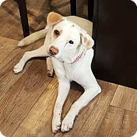 Labrador Retriever Mix Dog for adoption in ST LOUIS, Missouri - Momma